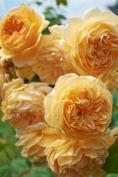 "English Roses Rose "" Crown Princess Margareta "" , (AUSwinter) , bred by David C. Roses David Austin, David Austin Rosen, David Rose, Exotic Flowers, Pretty Flowers, Pink Flowers, Beautiful Roses, Beautiful Gardens, Rose Crown"