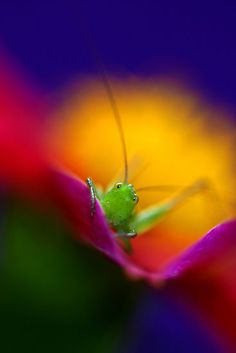 Grasshopper in the midst of color