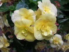 Yellow begonia (manikki @ 123)