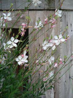 Gaura lindheimeri 'Whirling Butterflies' (Lindheimers prachtkaars) bij het boventerras