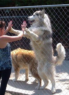 The Alaskan Malamute is a heavy dog, with a more formidable nature and structure than the Siberian Husky, which is bred for speed. Husky Malamute, Giant Alaskan Malamute, Alaskan Husky, Akita, Giant Dogs, Snow Dogs, Large Dog Breeds, Beautiful Dogs, Dog Lovers