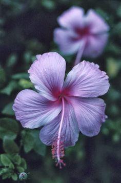 Hibiscus Flowers - my favorite flower