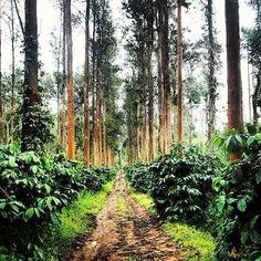 Coffee plantation, Coorg (Kodagu), India.