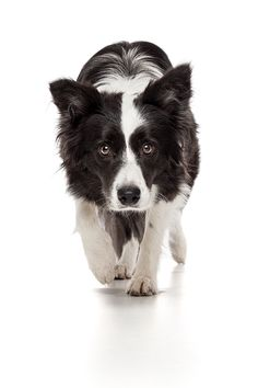 Border Collie Herding Instinct by Oszkár Dániel Gáti, via 500px~T~ This is exactally how my toy Australian Shepherd looks at me most of the day. I am either holding a ball or a frisbee. I love herding dogs.