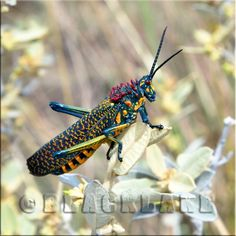 Painted Lubber Locust (Phymateus saxosus) Cool Insects, Grasshoppers, Crickets, Tiny Treasures, Colorful Birds, Caterpillar, Madagascar, Moth, Feathers