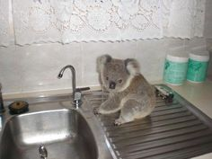 Orphaned Baby Koala Story Has A Happy Ending - there's something so adorable with a tiny wild animal on a kitchen sink