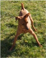 Gabe is an adoptable Miniature Pinscher Dog in Kankakee, IL. Gabe is a 3 year old Miniature Pincher mix. He is micro chipped, neutered and up to date on his shots. ...