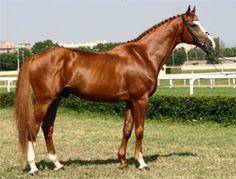 Gidran Arabian