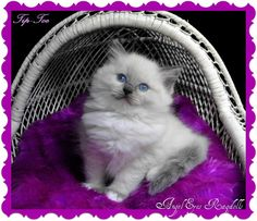 Tip-Toe, blue mitted female. Very pretty little girl. Pretty Little Girls, Angel Eyes, Clip Art, Toe, Female, Cats, Animals, Gatos, Animales