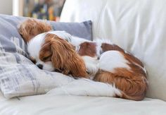 Discover Playfull Cavalier King Charles Spaniel Health Source by The post Discover Playfull Cavalier King Charles Spaniel Health appeared first on SH Dogs. King Charles Puppy, Cavalier King Charles Dog, Cute Dogs And Puppies, Baby Dogs, Doggies, Cavalier King Spaniel, Spaniel Puppies, Shitzu Puppies, Poodle Puppies