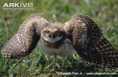 Immature burrowing owl in threat display - View amazing Burrowing owl photos - Athene cunicularia - on Arkive Burrowing Owl, Owl Photos, Mother Nature, Creatures, Display, Bird, Hawks, Mysterious, Animals