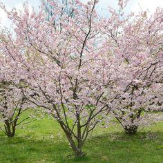 Litet bergkörsbär, Prunus 'Accolade'. Så himla fint flerstammigt!