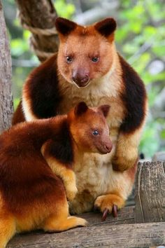 Golden-Mantled Tree Kangaroo