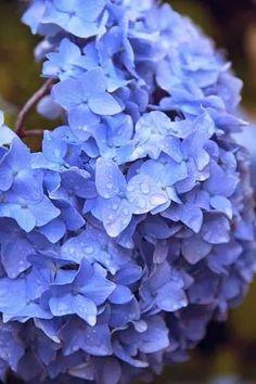 blue hydrangrea