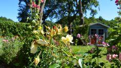 FeWo-Garten in Göhren, Rügen / www.zum-alten-pfau.de  #ruegen #urlaub #reisen #ostsee #strand #fewo #unterkunft #ferienwohnung