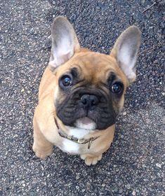 Henry, the French Bulldog Puppy