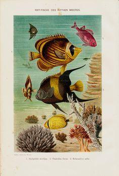 1895 Antique AQUARIUM printReef fishes of por TwoCatsAntiquePrints, $29.00