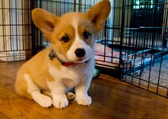 Corgi | if they didn't shed so much they would be the perfect dog!