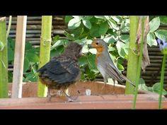 Vroege Vogels - Roodborst voert jonge merel