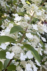 """H. paniculata - Pee Gee Hydrangea – White cone-shaped flower clusters are prized for fresh and dried flower arrangements. The most common variety 'Grandiflora' has mostly large sterile flowers in panicles up to 18"""" long. Bloom begins in June and as flowers age they will turn pink and eventually dry on the plant."""