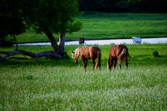 Horses in a Flowered Meadow Minnesota Fine Art by LifeTravelPhotos