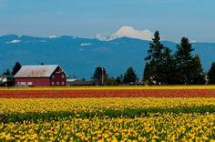 http://www.pugetsoundexpress.com/wordpress/wp-content/uploads/2012/04/Tulips.jpg  Scagit Valley Tulip Festival  Washington State
