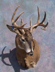 DeviantArt: More Artists Like Lamb Wool Texture by Minotaur-Queen Deer Mounts, Deer Tattoo, White Tail, Artists Like, Taxidermy, Lamb, Goats, Moose Art, Texture