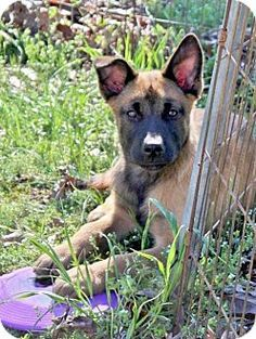 Yardley, PA - Shepherd (Unknown Type)/Mastiff Mix. Meet Beary I~B, a dog for adoption. http://www.adoptapet.com/pet/12670878-yardley-pennsylvania-shepherd-unknown-type-mix