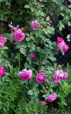 Purple roses from my garden