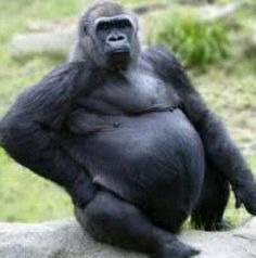 Fat Gorilla.....This is what i look like after thanksgiving!:/ :)