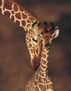 Giraffes always look so affectionate. I'd love to see them close up.