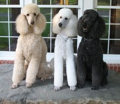 STANDARD POODLES : )  LOVE THEM<3<3<3  STILL MISS OURS SO VERY MUCH... <3