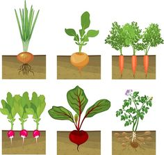 Set of different vegetables plant showing root structure below ground. Set of different vegetables Planting Vegetables, Planting Seeds, Growing Vegetables, Fruits And Vegetables, Vegetable Drawing, Root Structure, Fish Activities, Different Vegetables, Plant Drawing