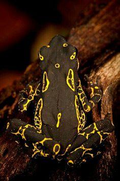 Hoogmoed Harlequin Toad - Atelopus hoogmoedi