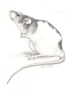 nikkiburr - Curious Ratty by nikkiburr.deviantart.com on @deviantART
