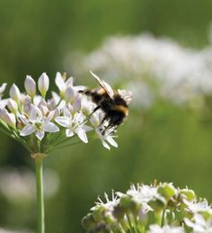 Bee feeds from garlic chives
