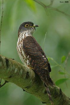 Hodgson's Hawk-Cuckoo, Cuculus fugax turning his head