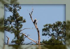 Living In Williamsburg, Virginia: Bald Eagle On The York River, Colonial Parkway, Williamsburg, Virginia