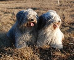 Polish Lowland Sheepdog Havanese Puppies, Dogs And Puppies, Doggies, Puppy Pictures, Animal Pictures, Polish Lowland Sheepdog, Unusual Dog Breeds, Tibetan Terrier, Bearded Collie