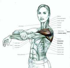 Read This Before Ever Stretching Again (and that includes for your back and sciatica pain) : The Hearty Soul Muscle Anatomy, Body Anatomy, Human Anatomy, Zbrush Anatomy, Shoulder Muscles, Shoulder Stretches, Stiff Shoulder, Sup Yoga, Sciatica Pain