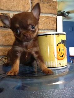 GORGEOUS AKC TINY T-CUP APPLE HEAD CHIHUAHUA 12oz 750