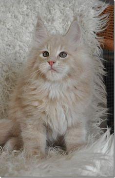 Snow white kitten
