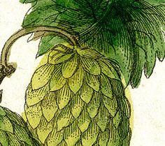 Vintage Illustration Hops Botanical Plant Beer от DigitaIDecades
