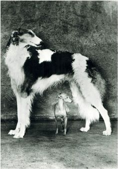 Russian Borzoi and Italian greyhound...love how this shows the size difference! Love both dogs!