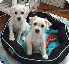 Costa Mesa, CA - Maltese/Terrier (Unknown Type, Small) Mix. Meet Tom, a puppy for adoption. http://www.adoptapet.com/pet/13083484-costa-mesa-california-maltese-mix
