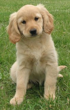 """Visit our internet site for additional relevant information on """"Golden Retriever dogs"""". It is actually an outstanding location to get more information. Golden Retriever Cocker Spaniel, Mini Golden Retriever, Cocker Spaniel Puppies, Retriever Puppy, Golden Retrievers, Spaniel Puppies For Sale, Golden Puppy, I Love Dogs, Softies"""