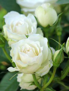 stunning white roses!
