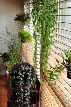 Rhipsalis capilliformis, una planta colgante -Sombra