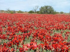 I've always wanted to see the an Australian desert in bloom. These are Sturt's Desert Peas near Roxby Downs (SA)
