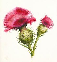 Aquarelle d' Amber Alexander.  J'aime les illustrations botanique.